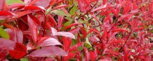 红叶石楠的养殖方法和注意事项