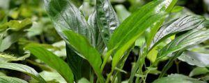 超耐寒的八种植物