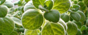 碰碰香的养殖方法和注意事项
