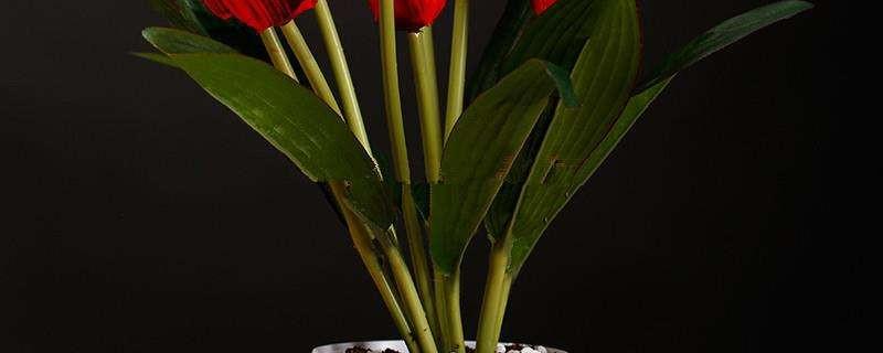 郁金香的养殖方法和注意事项