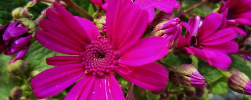 瓜叶菊的养殖方法和注意事项