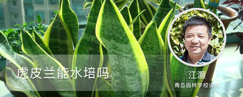 虎皮兰能水培吗