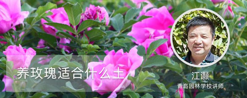 养玫瑰适合什么土,适合室内养吗