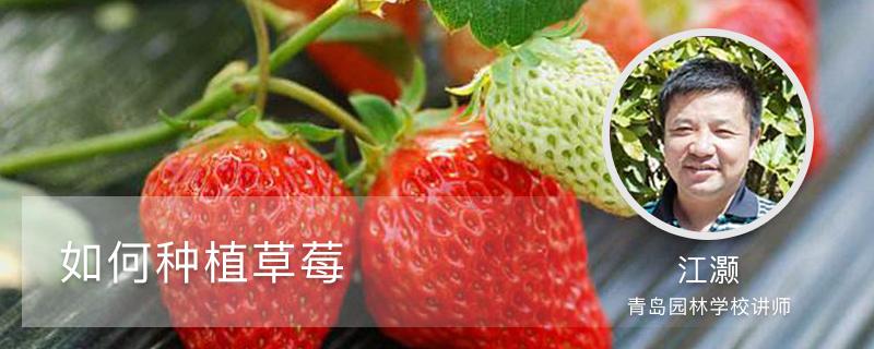 如何种植草莓