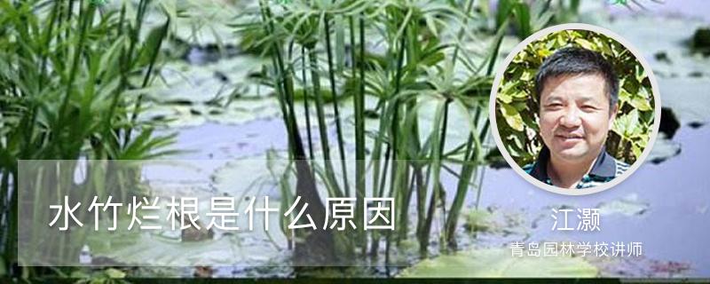 水竹烂根是什么原因