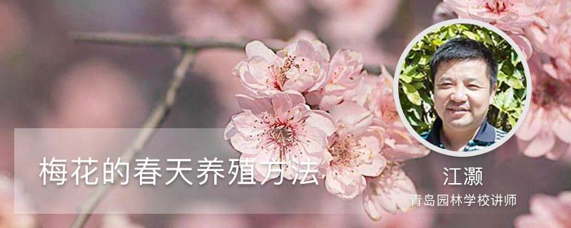 梅花的春天养殖方法