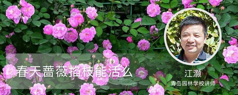 春天蔷薇掐枝能活么