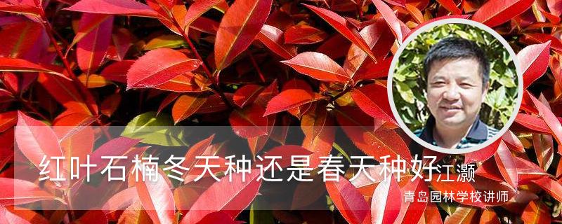 红叶石楠冬天种还是春天种好