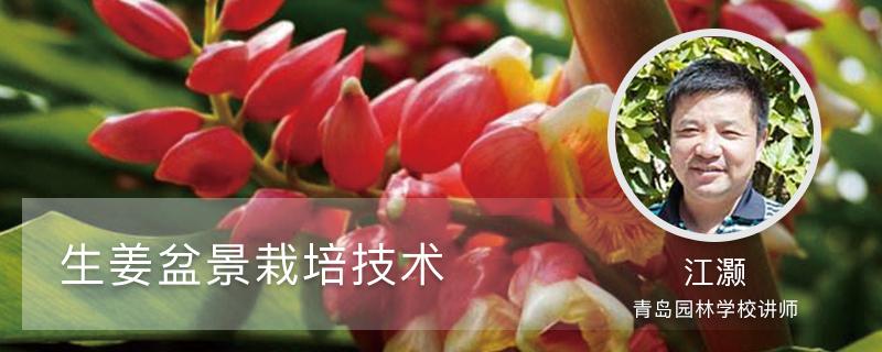 生姜盆景栽培技术