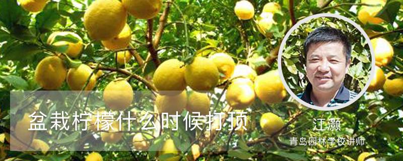 盆栽柠檬什么时候打顶