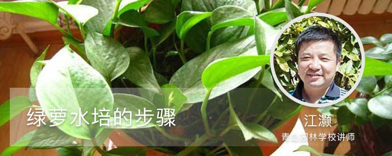 绿萝水培的步骤