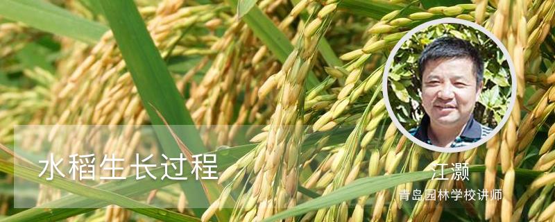 水稻生长过程
