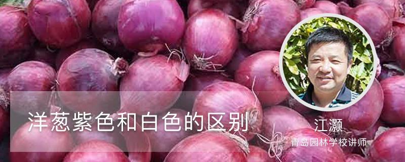 洋葱紫色和白色的区别