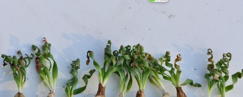 弹簧草的养殖方法和注意事项大全