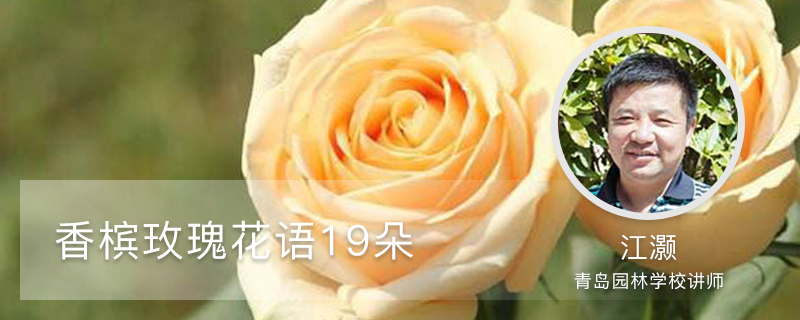 香槟玫瑰花语19朵是什么