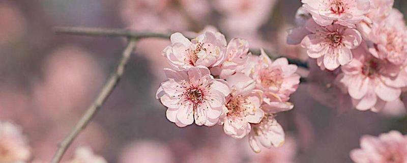 梅花怎么种植和养护,怎么繁殖