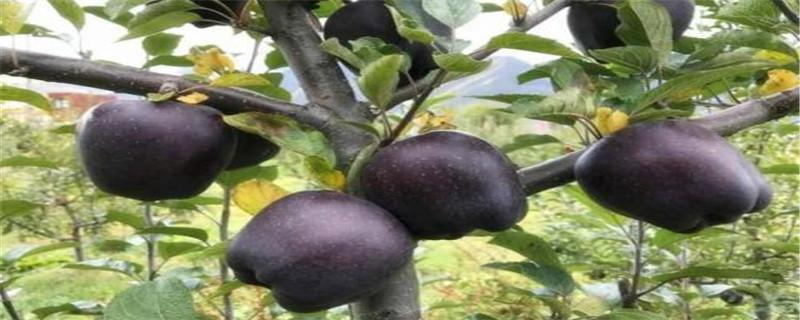 黑钻苹果简介,适合哪里种植
