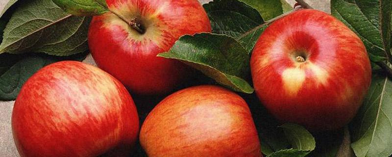 新品种苹果苗介绍