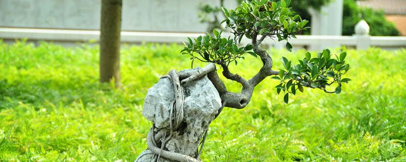 榕树盆景怎么造型