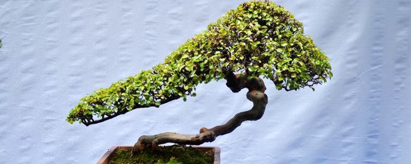 榕树掉叶子怎么补救