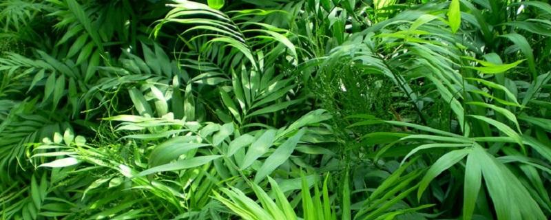 袖珍椰子开花什么预兆,怎么养才会开花