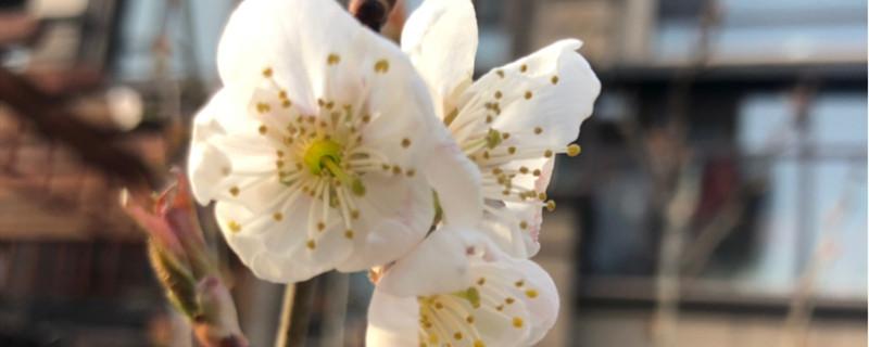 桃花的寓意和象征