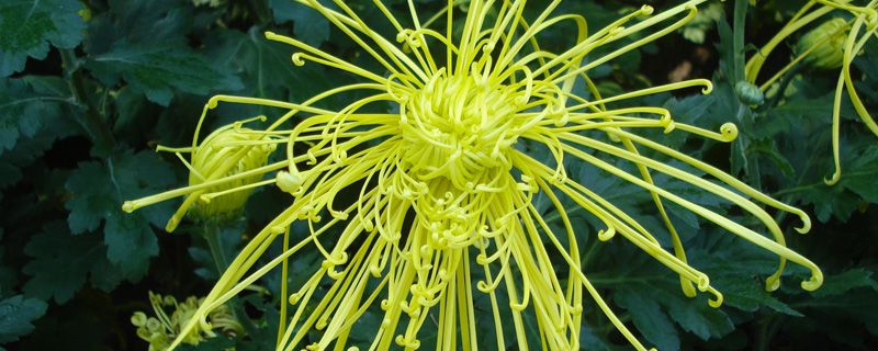 菊花怎样种植与管理