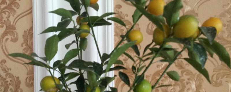 盆栽金桔好养吗