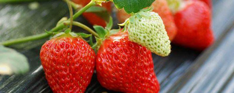 草莓种植过程