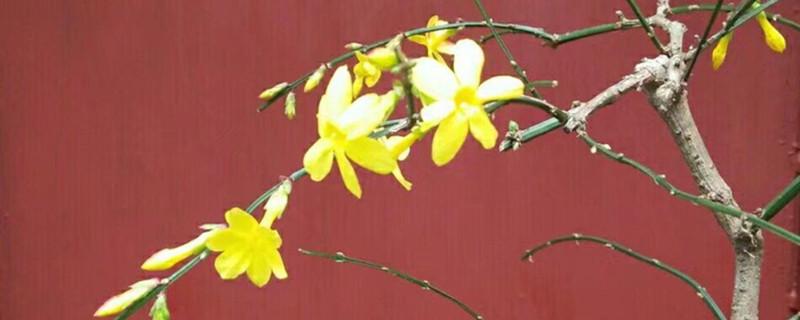 迎春花图片(形态特征和养护方法简介)