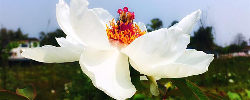 牡丹花图片(形态特征和养护方法简介)