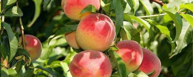 桃树春季嫁接时间