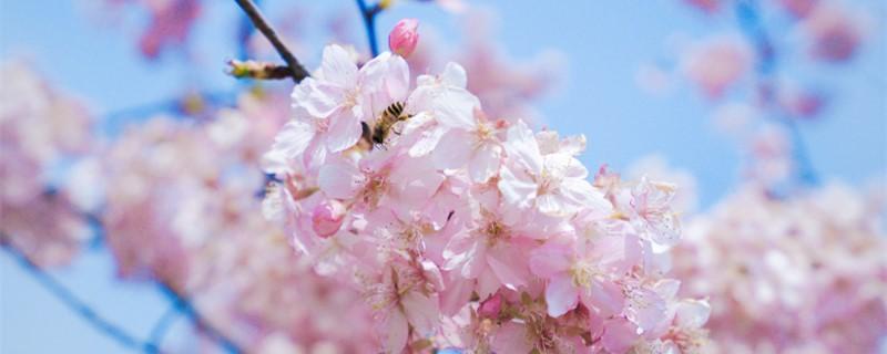 樱花几月开