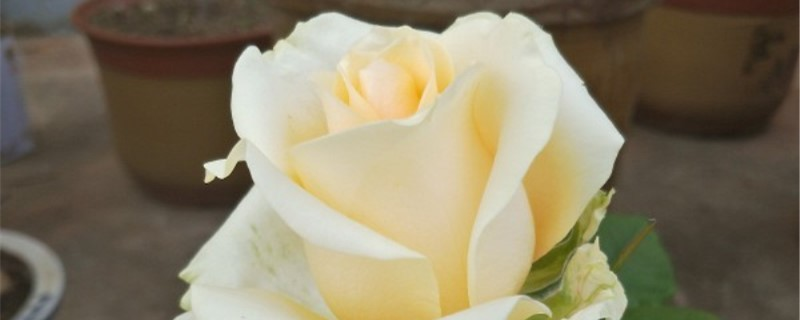 香槟玫瑰花语