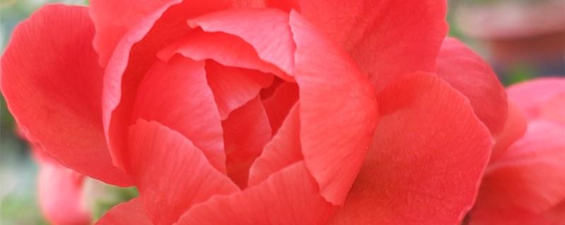 海棠花花语