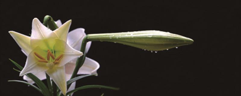 百合花骨朵多久能开花