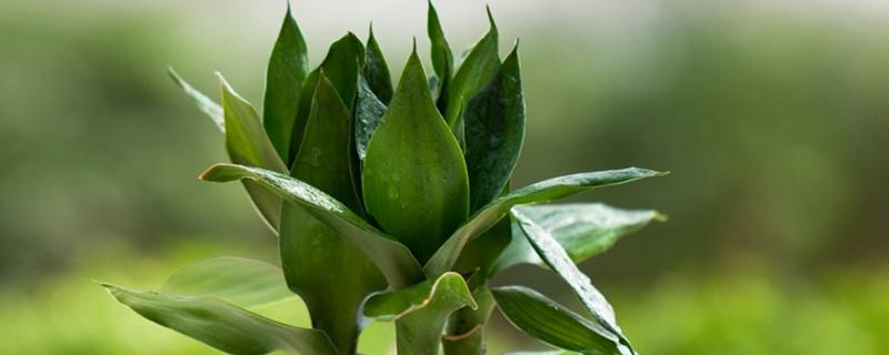 富贵竹能用纯净水养吗,富贵竹用自来水行吗