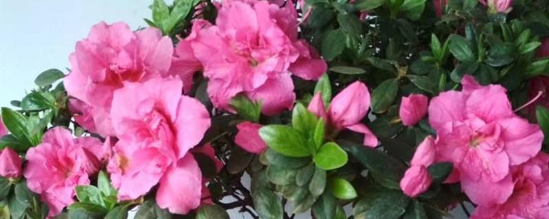 杜鹃花有花苞不开花,杜鹃花花期管理