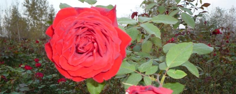 四季玫瑰怎么养