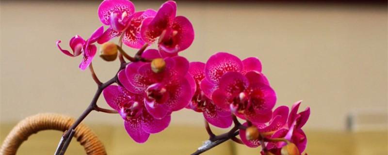蝴蝶兰的花语和寓意