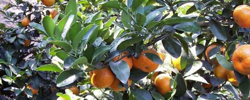 柑橘嫁接技术几种方法