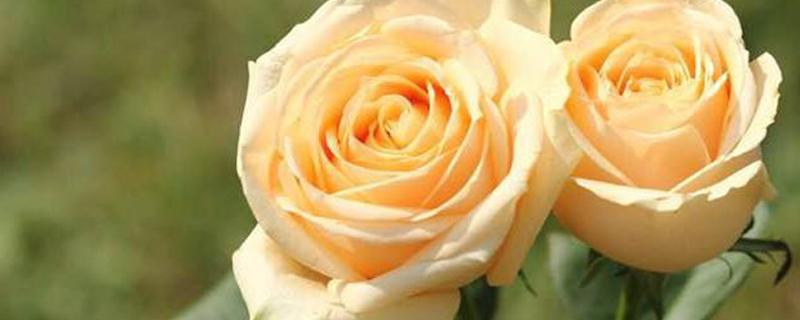玫瑰不开花该怎么处理