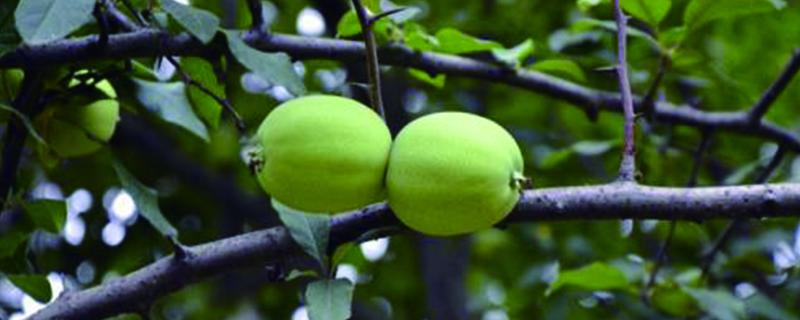 木瓜海棠花的养殖方法