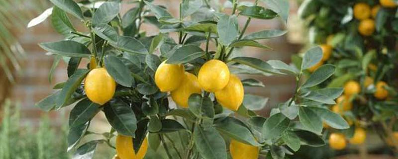 柠檬树黄叶怎么办