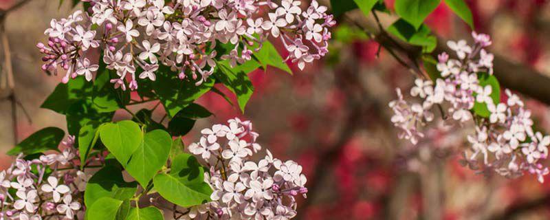 西府海棠有毒吗,能在家养吗?