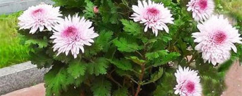四季菊花怎么养