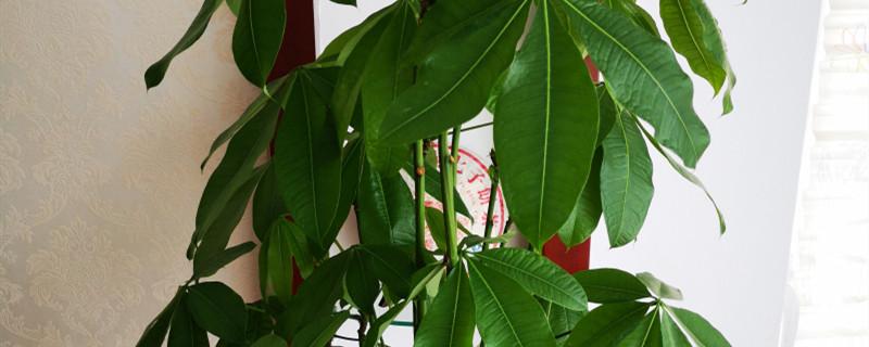发财树叶子下垂发黄怎么办