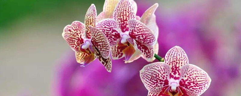 蝴蝶兰的花蕾怎样养护