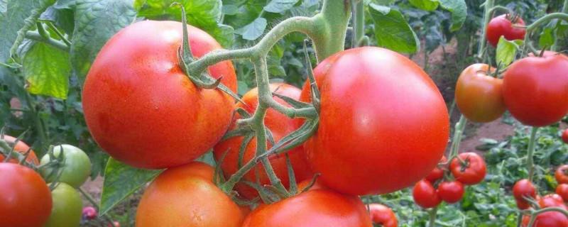 番茄育苗时间