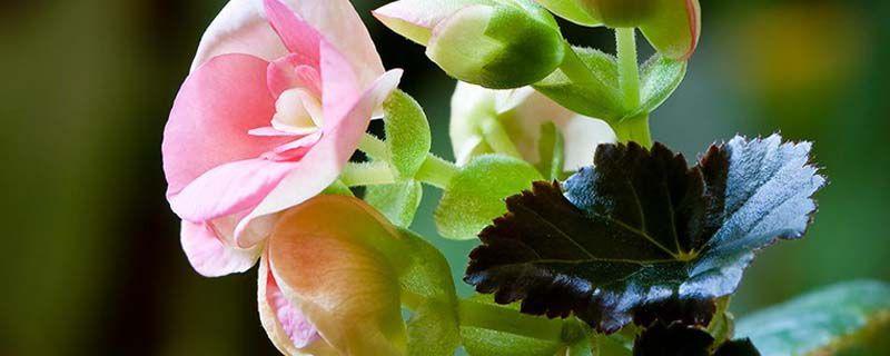 丽格海棠开完花后处理
